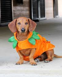 pumpkin costume halloween dogs in halloween costumes can you resist martha stewart