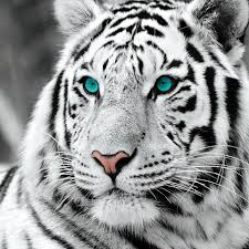 wall glass white tiger blue b w buy at europosters eu