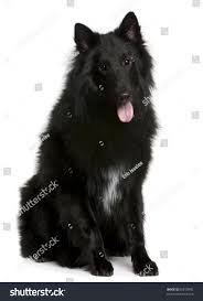 belgian shepherd 2 months belgian shepherd dog groenendael 1 year old sitting in front of