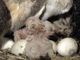 What Does A Barn Owl Look Like Barn Owls In Summer U2013 Rearing Young The Barn Owl Trust