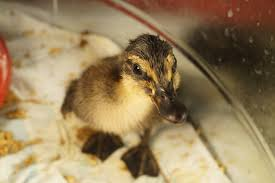 rouen duckling being cute natural history