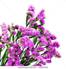 statice flowers statice flower stock images royalty free images vectors
