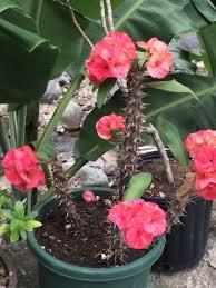 Corona Patio Umbrella by I Fell In Love With This Cactus Plant Called Corona De Cristo