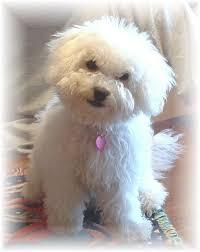 1 month old bichon frise registered akc bichon frise puppy champion bloodlines purebred