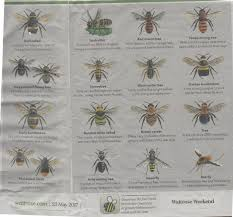 native plant species bee identification there are u003e250 species of native bee in