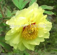 Fragrant Potted Plants - yellow peony seeds household potted plants flowers large