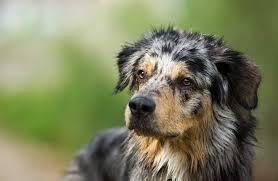 australian shepherd uk animals are not ours to abuse peta uk
