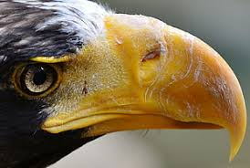 stellers sea eagle wallpapers photo of gray eagle sea eagle hd wallpaper wallpaper flare