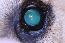 american eskimo dog blue eyes veterinary article cataract referral