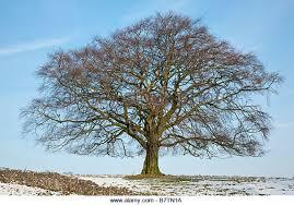 beech tree in winter stock photos beech tree in winter stock