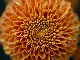 mums flower mums for autumn thanksgiving and fall ideas pinterest orange