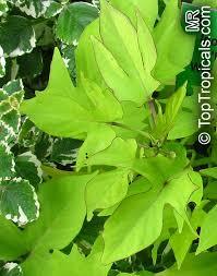 ipomoea batatas sweet potato vine camote boniato toptropicals