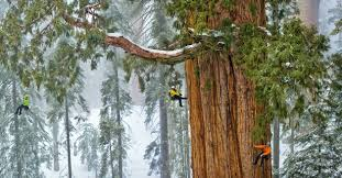 sequoias scaling a forest pictures more from national