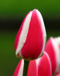 where can i buy candy apple tulip candy apple delight bulbs buy online at farmer gracy uk