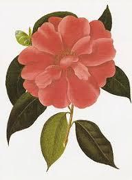 camellia flowers camellia