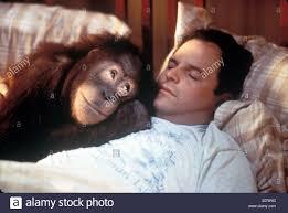 bentley orangutan singe stock photos u0026 singe stock images alamy