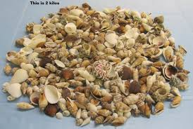 assorted seashells wholesale medium philippine assorted seashells in bulk 1 2 to 2