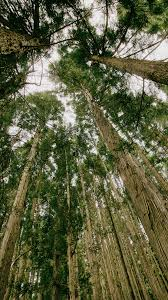 deep forest green tall trees deep forest look up android wallpaper free download