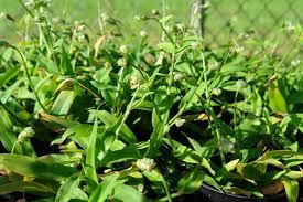 beijing grass murdannia loriformis live plant
