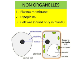 What Organelles Are Found In Epithelial Cells Biology Form 4 Chapter 2 Part 1 Cell Structure
