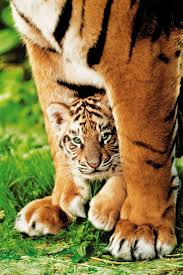 60 best tiger print images on pinterest tiger print tigers and