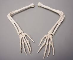 halloween horror skeleton arms life size human left u0026 right ebay