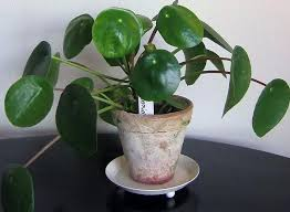 Plants To Grow Indoors Easy Flowers To Grow Indoors Easy To Grow Indoor Plants
