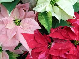 christmas flowers christmas flowers and plants to decorate your home with