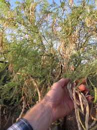 native plants in arizona desert harvesters appreciating the native foods of the southwest