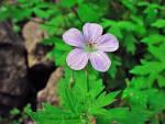 Image result for Geranium richardsonii