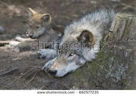 belgian shepherd timberwolf timber wolf stock images royalty free images u0026 vectors shutterstock