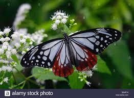 the chestnut tiger butterfly stock photo 20740136 alamy