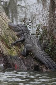 best 25 crocodile ideas on pinterest crocodiles caiman and