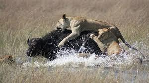 african lions lion habitat lion cubs