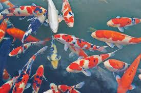 what do koi fish symbolize