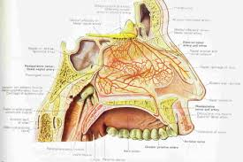Nerve Map Nasal Anatomy And Physiology On Nose Twitching Most Comprehensive
