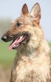 belgian sheepdog rescue adoption buying or adopting a belgian shepherd