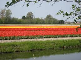 the dutch tulip fields guest post u2013 chronicles of a travel addict