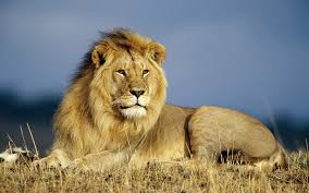 10 different types of lions with fact and pictures wallpapers