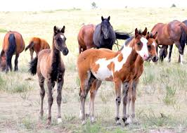 Black Mustang Horse Pictures Darley U0027s Travel Blog Six Great Wild Horse Tours Equitrekking