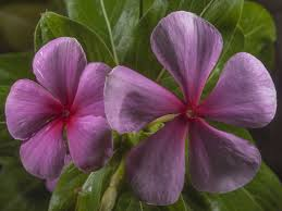 native plants madagascar catharanthus roseus madagascar periwinkle world of flowering