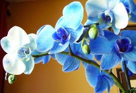 orchids flowers eletragesi blue orchids images