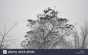 birds sitting on a tree a flock bird of crows stock photo