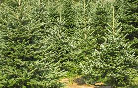 real christmas trees need tlc