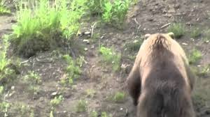 Hairless Bear Meme - bald eagle vs grizzly youtube