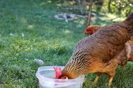pam u0027s backyard chickens how do chickens drink
