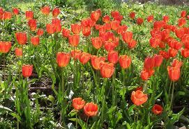 Ottoman Tulip by Tulip Wikipedia