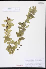 Fragrant Plants Florida Herbarium Specimen Details Isb Atlas Of Florida Plants