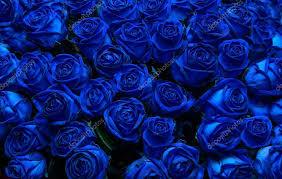 blue roses blue roses stock photo intendo48 53944523