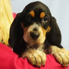 bluetick coonhound in tennessee bluetick coonhound dog for adoption in cookeville tn adn 510273
